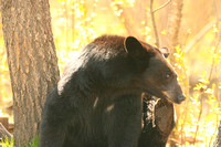 Black bear scratching
