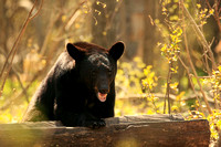 Black bear defending log