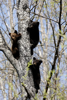 Three black bear cubs in a tree