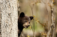 Black bear cub peaking from behind tree